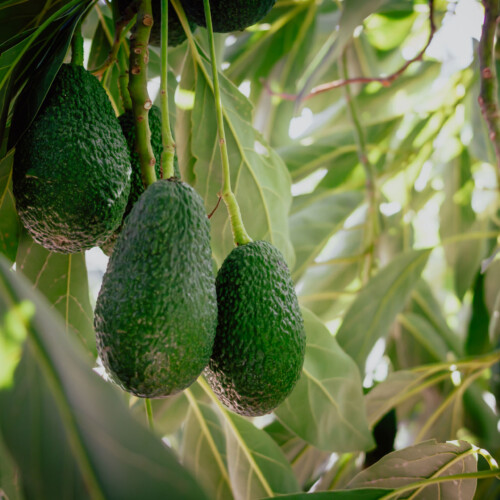 avocado lamb hass in pianta