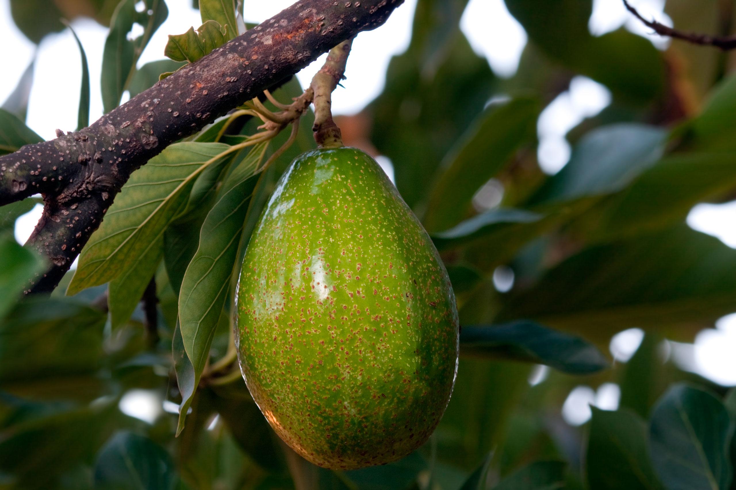 Avocado Zutano Italiano
